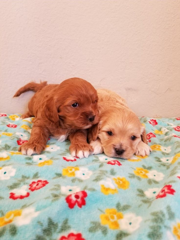Pin by jessyca gustafson on cavapoo puppies for sale