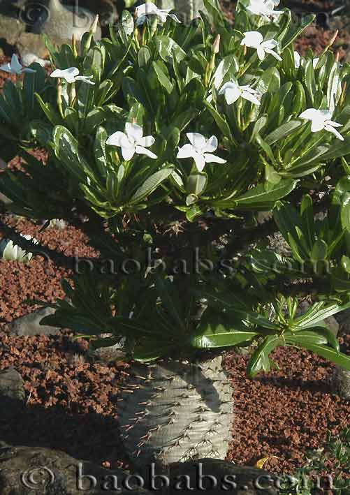 Pachypodium ambongense-  0 €          Pagina Anterior Pachypodium ambongense  ' Pachypodium ' [ Apocynaceae ] [ Madagascar ]