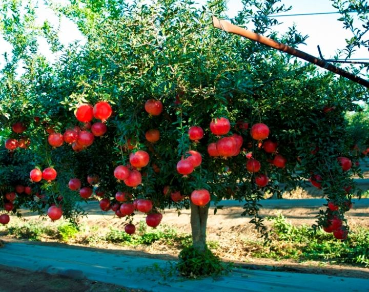 Tree With Fruits Part - 32: Pomegranate Plants   Pomegranate Tree Laden With Fruits   ? BERRIES ?    Pinterest   Pomegranates, Trivia And Berries
