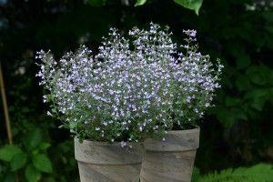 Calamintha nepeta Marvelette Blue - photo: Fleuroselect