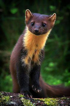 a pine marten, a member of the weasel family found across the North