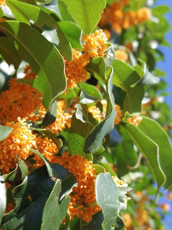 1000 images about botanical essential oil o p on for Osmanthus fragrans aurantiacus