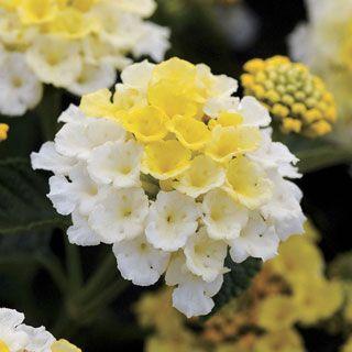 ☀️Perennial  Barrier Plants Full Sun Lucky Lemon Glow Lantana