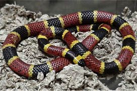 Warning Coral snakes belong to the same family as the highly venomous cobras, kraits, mambas, and sea snakes. Unlike vipers and pit vipers, coral snakes have fangs that are fixed in position on the front part of the upper jaw and cannot be folded back. Coral snake venom is strongly neurotoxic, affecting the victim's nervous and respiratory systems, and bites can be fatal. Do not handle these snakes!