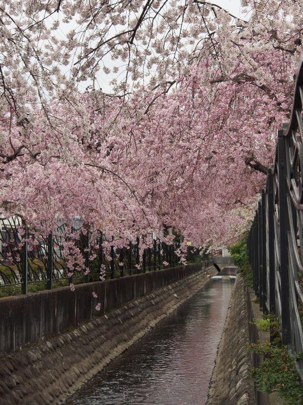 春には美しい桜並木が! 溝の口のおすすめ