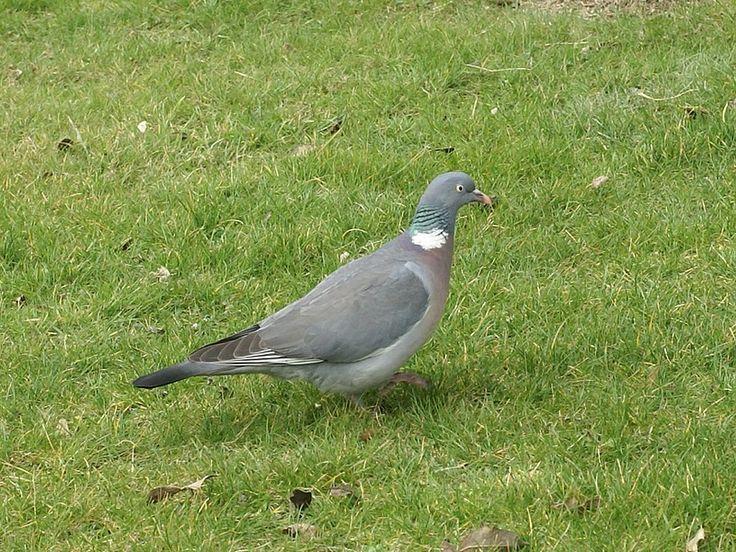 les 25 meilleures id es concernant pigeon ramier sur pinterest beaux oiseaux plat nourriture. Black Bedroom Furniture Sets. Home Design Ideas