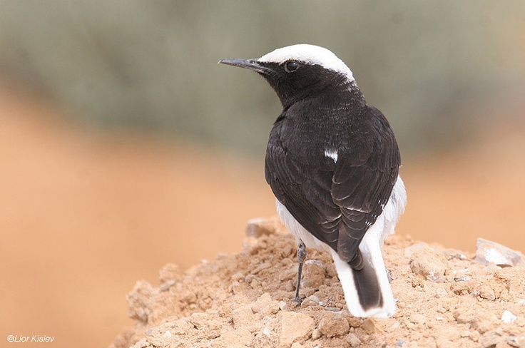 Hooded Wheatear (Oenanthe monacha)