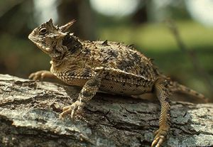 "I grew up with ""horny toads"" but have not seen one in years! Horned Lizard on a log"