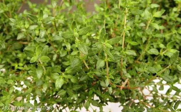 Tymianek – uprawa w ogródku ziołowym. Jak uprawiać tymianek i jak zbierać ziele tymianku - - wymarzonyogrod.pl