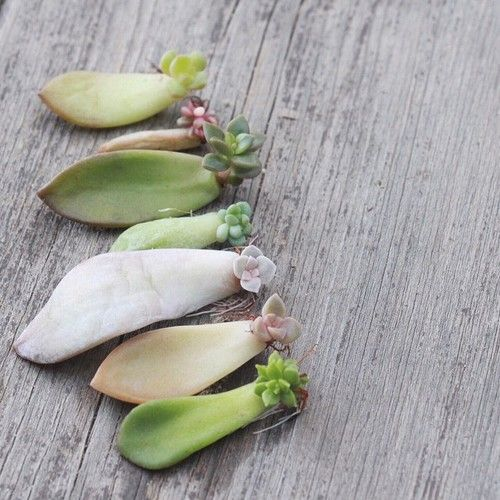 pretty babies - how to replant trim and propagate succulents