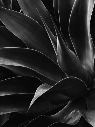 Century Plant   Brett Weston