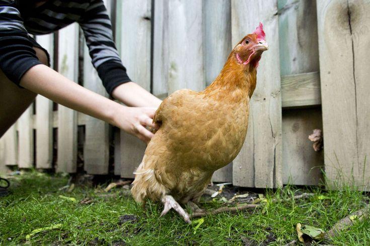 The many benefits of backyard chickens | Toronto Star https://www.thestar.com/opinion/editorials/2018/02/26/the-many-benefits-of-backyard-chickens.html