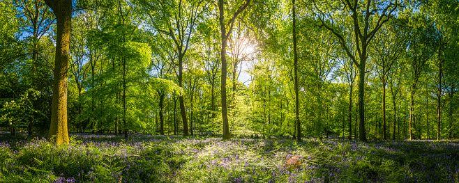 Sunshine warming idyllic woodland glade green forest ferns wildflowers panorama stock photo