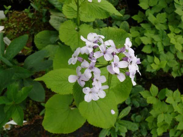 Lunaria rediviva (Ausdauerndes Silberblatt)