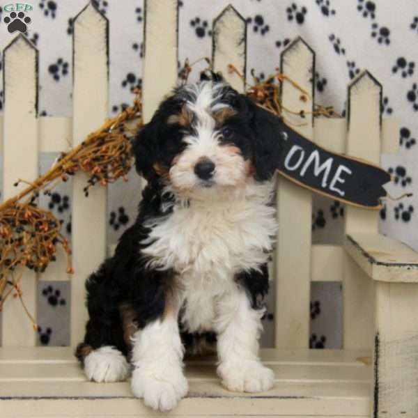 Lily Mini Bernedoodle Puppy For Sale In Pennsylvania In 2020 Bernedoodle Puppy Puppies For Sale Mini Bernedoodle
