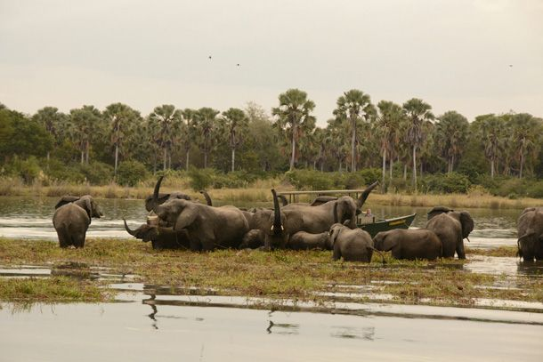 Watching small elephant family groups jubilantly reuniting along Malawi's Shire River is an emotional and hugely rewarding wildlife experience.