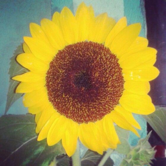 Macro mode. #sunflower
