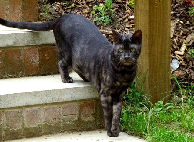 Melanistic bengal cat for sale