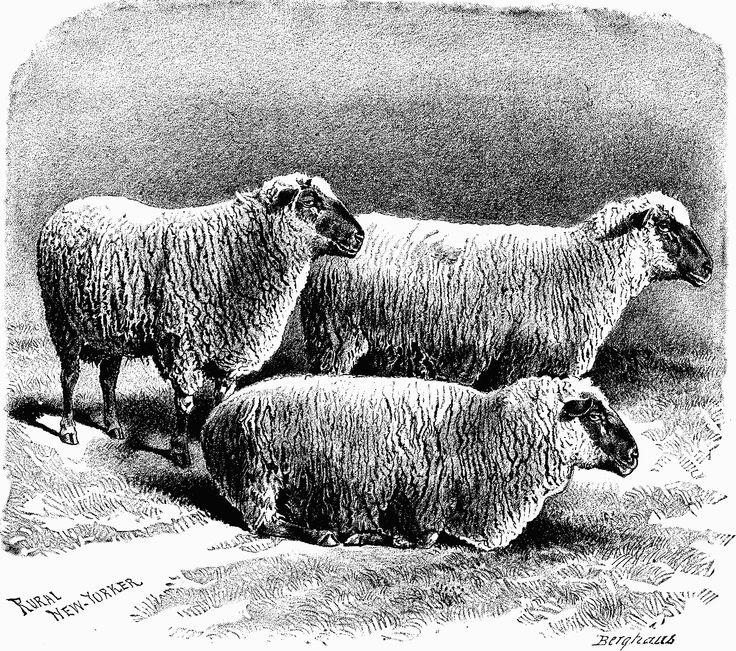 Lista de raças de ovinos - Wikiwand