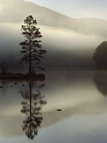 Scots Pine Tree Reflected in Lake at Dawn, Loch an Eilean, Scotland, UK Posters