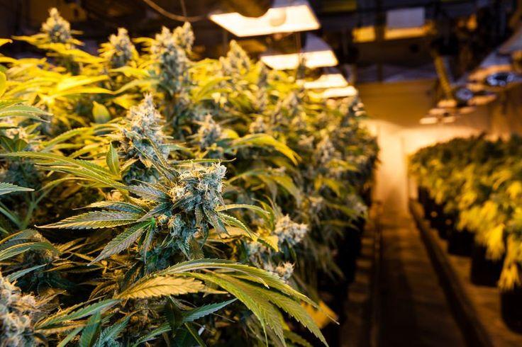 31 de kilograme de cannabis descoperite la un gălăţean acasă