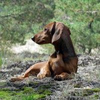 #dogalize Cura del cane bassotto: la toelettatura e il pelo #dogs #cats #pets