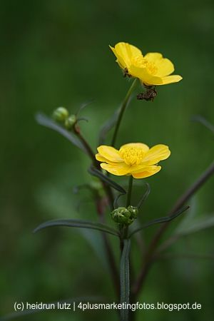 315 besten giftpflanzen bilder auf pinterest for Gelbe tafeln