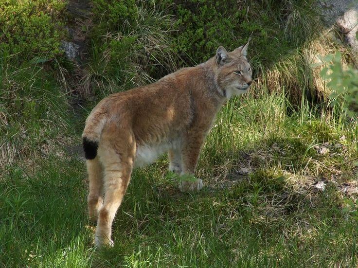 Ilves, Lynx lynx - Nisäkkäät - LuontoPortti