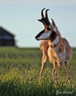 Pronghorn during the golden hour in Saskatchewan