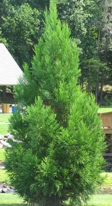 Cryptomeria Radicans. Possible replacement for Leland Cyprus or Hemlock on side of house.