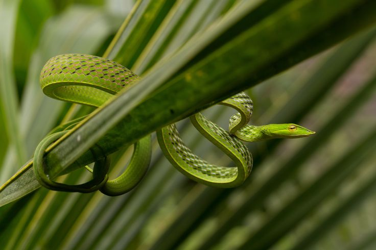 An Asian vine snake curves along the leaf of an Agumbe rain forest plant in…