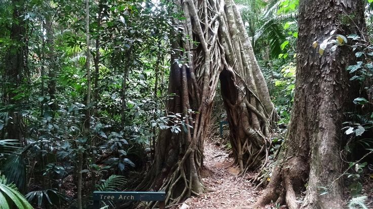 Tree Arch is located on one of the rainforest walking trails in Eungella National Park. Kids love walking through the arch! #walks #rainforests #Attractions #EungellaNationalPark #Trees