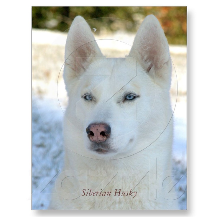 30 Best White Siberian Husky Images On Pinterest