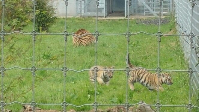 Baby Tigers @Yorkshire Wildlife Park