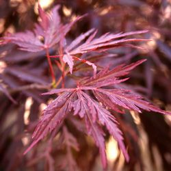Lifestyle - Acer - Maple Trees
