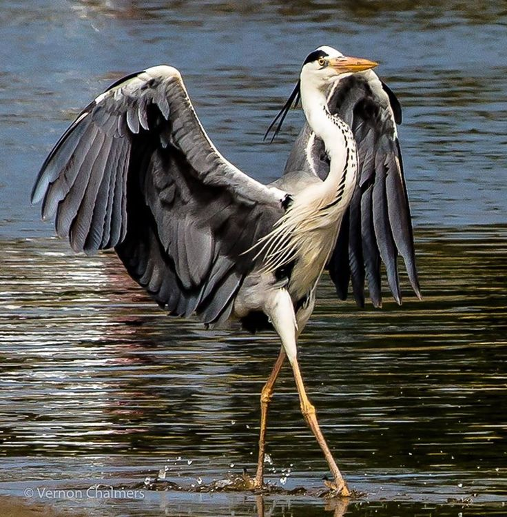 Great Grey Heron doing the runway strut.