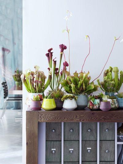 Fleischfressende Pflanzen sind faszinierende Zimmerpflanzen - Pflanzenfreude.de