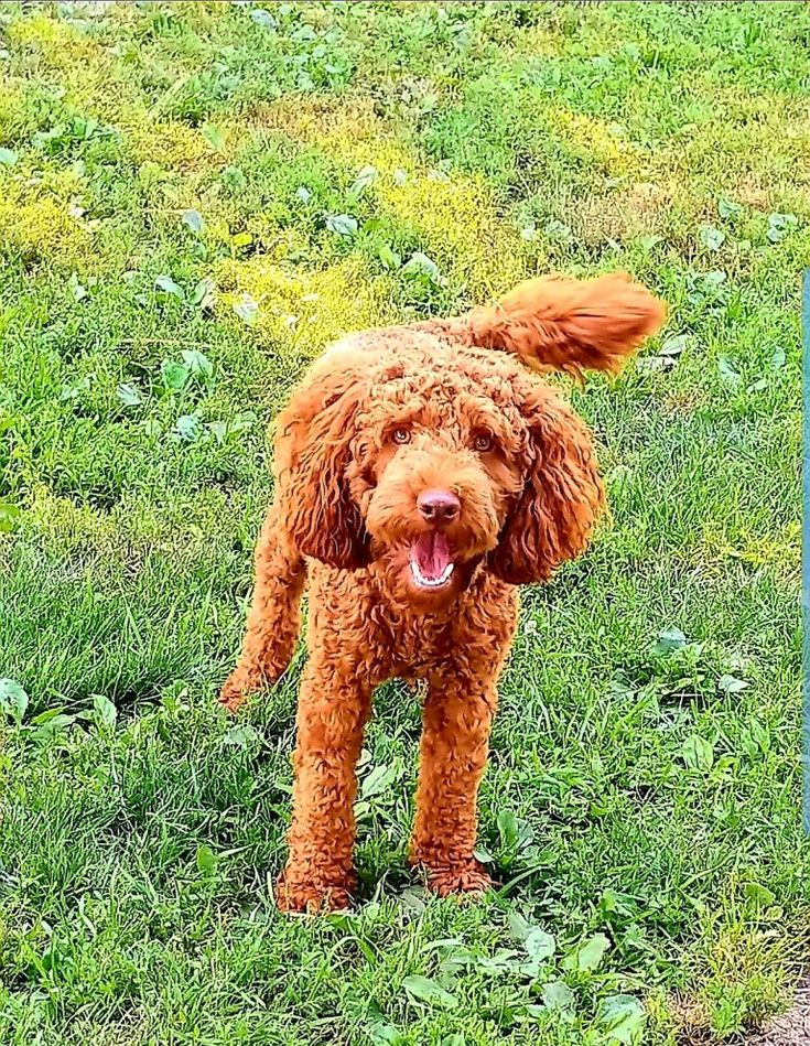 image1561898569361 in 2020 Goldendoodle puppy for sale