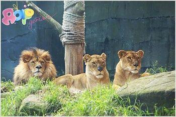 Детям о животных: Лев