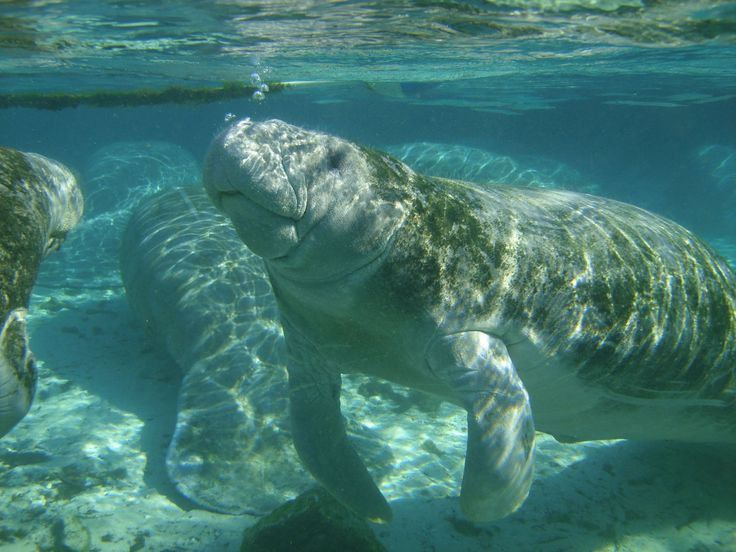 Manatee Facts:  Manatees are herbivores that feed primarily on seagrass and macroalgae. Manatees are serious eaters. They can spend upwards of half of their day munching on vegetation, which results in daily consumption of plant matter matching 10% of their body weight!  Manatees can hold their breath for up to 20 minutes, but most will come to the surface every 3 to 5 minutes to breathe  Manatees can swim at speeds of 20 mph for small bursts.  Manatees can live for 60 years or more.