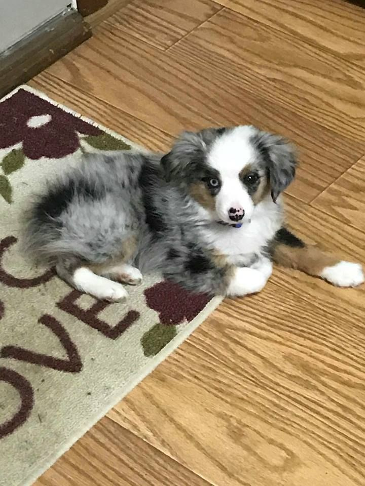 My Toy Toy Australian Shepherd Breeder in