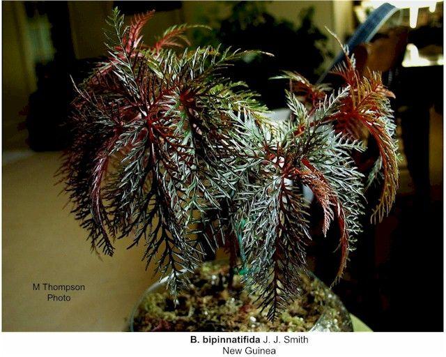 how to make begonias bloom