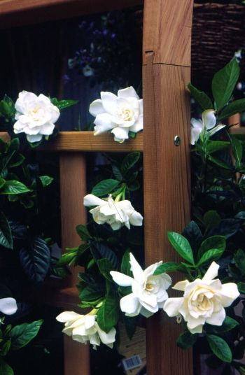 Basically the only white flower I will ever love and my future garden will have many gardenias.