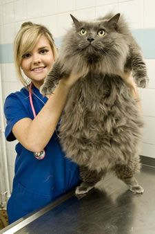over weight Maine Coon cat that's going to be in The Biggest Loser for animals... in the UK
