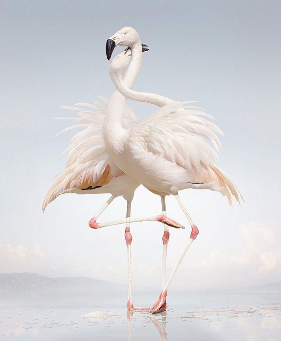 Simen Johan <3 j'adore this piece!Cute Animal, Photos Gallery, Lets Dance, Animal Photography, White, Flamingos, Birds, Animal Photos, Simen Johan
