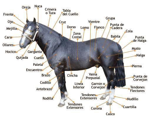 Purebred Chilean Horse . Caballo  de pura raza chilena .Descripcion partes del caballos .