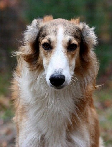 Silken Windhound. The First American Sighthound is now recognized and registered by the UKC
