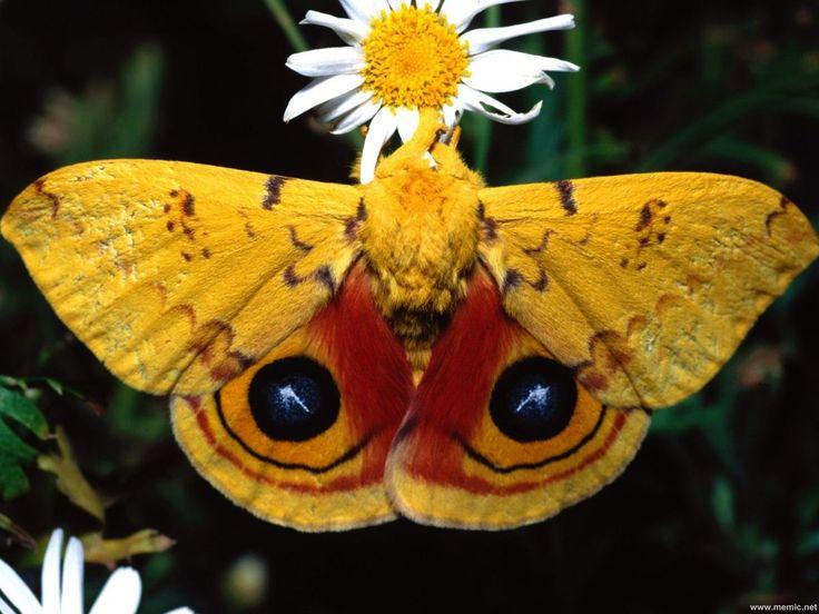 Butterfly - FarfallaBeautiful Butterflies, Animal Insectsio, Nature, Bugs, Moth Dragonflies, Butterflies, Ios Moth, Insectsio Mothjpg, Beautiful Moth