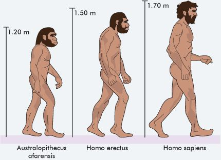 diagram of Australopithecus afarensis, Homo erectus and Homo sapien, showing their height and physical features