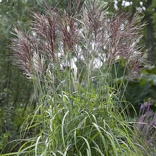 Maiden grass malepartus miscanthus sinensis spring for Full sun ornamental grass